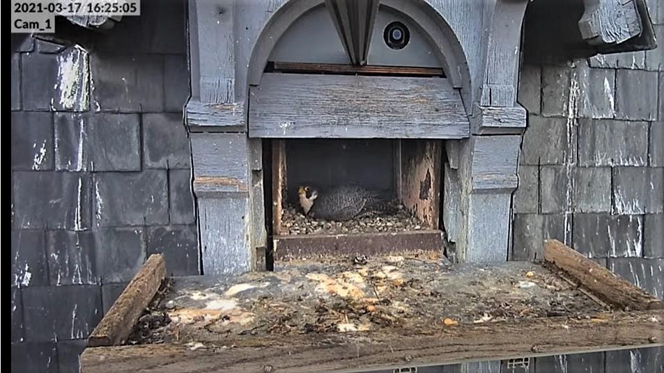 Les faucons pèlerins d'Illkirch-Graffenstaden. Lucky en Valentine. - Pagina 5 Captur51