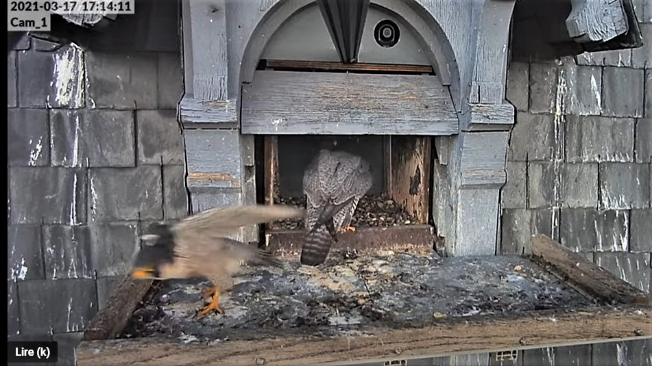 Les faucons pèlerins d'Illkirch-Graffenstaden. Lucky en Valentine. - Pagina 5 Captur52