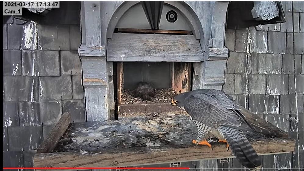 Les faucons pèlerins d'Illkirch-Graffenstaden. Lucky en Valentine. - Pagina 5 Captur53