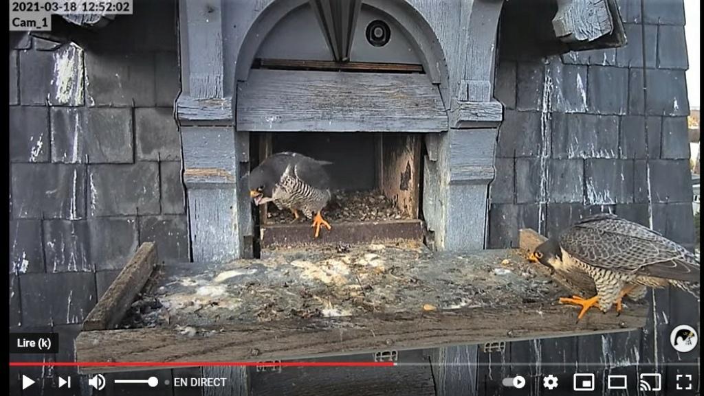 Les faucons pèlerins d'Illkirch-Graffenstaden. Lucky en Valentine. - Pagina 5 Captur54