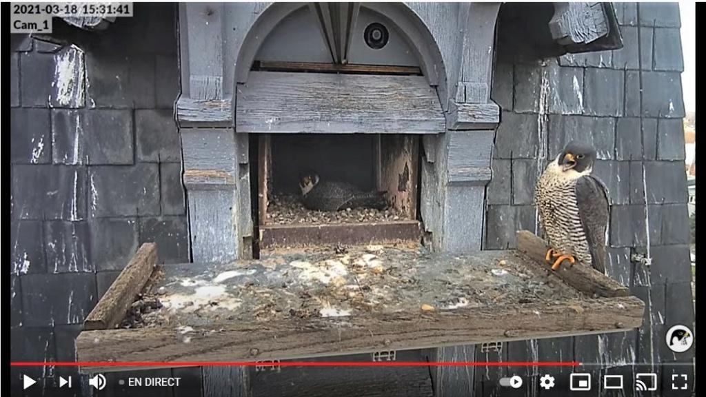 Les faucons pèlerins d'Illkirch-Graffenstaden. Lucky en Valentine. - Pagina 5 Captur59