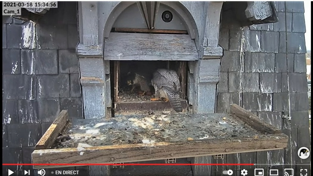 Les faucons pèlerins d'Illkirch-Graffenstaden. Lucky en Valentine. - Pagina 5 Captur60