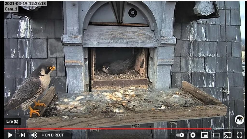 Les faucons pèlerins d'Illkirch-Graffenstaden. Lucky en Valentine. - Pagina 5 Captur61