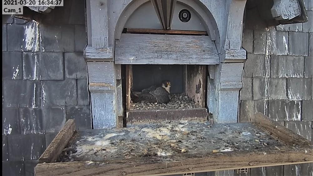 Les faucons pèlerins d'Illkirch-Graffenstaden. Lucky en Valentine. - Pagina 5 Captur69