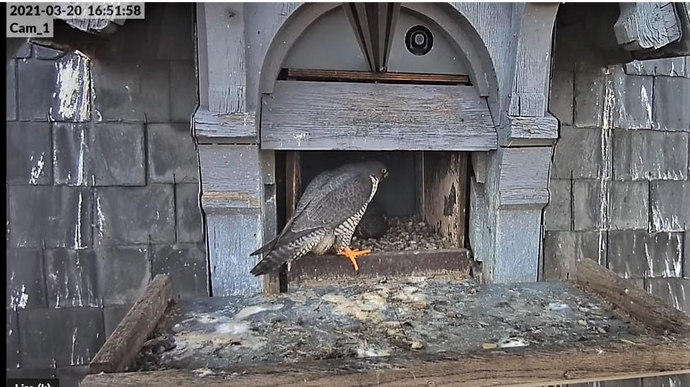 Les faucons pèlerins d'Illkirch-Graffenstaden. Lucky en Valentine. - Pagina 5 Captur70