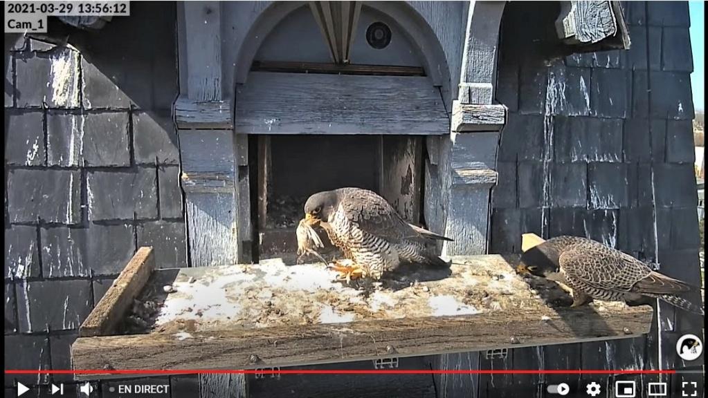 Les faucons pèlerins d'Illkirch-Graffenstaden. Lucky en Valentine. - Pagina 6 Captur73