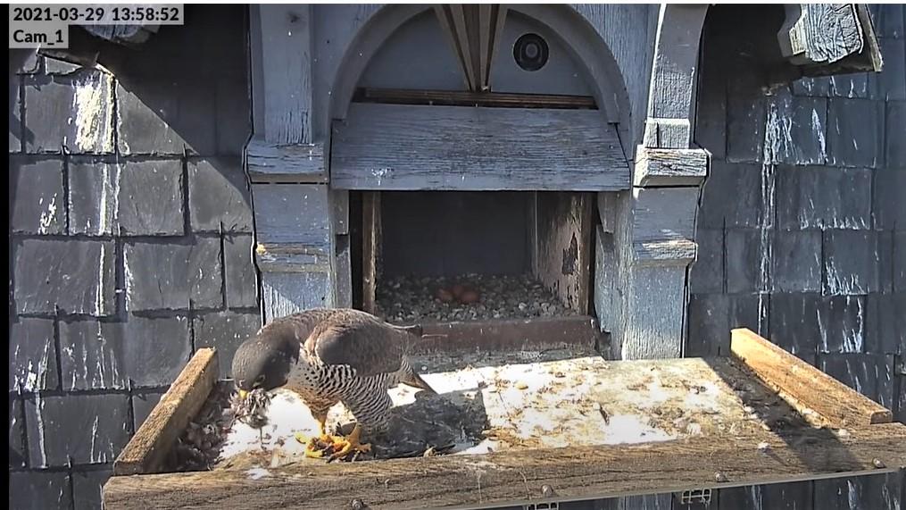 Les faucons pèlerins d'Illkirch-Graffenstaden. Lucky en Valentine. - Pagina 6 Captur74