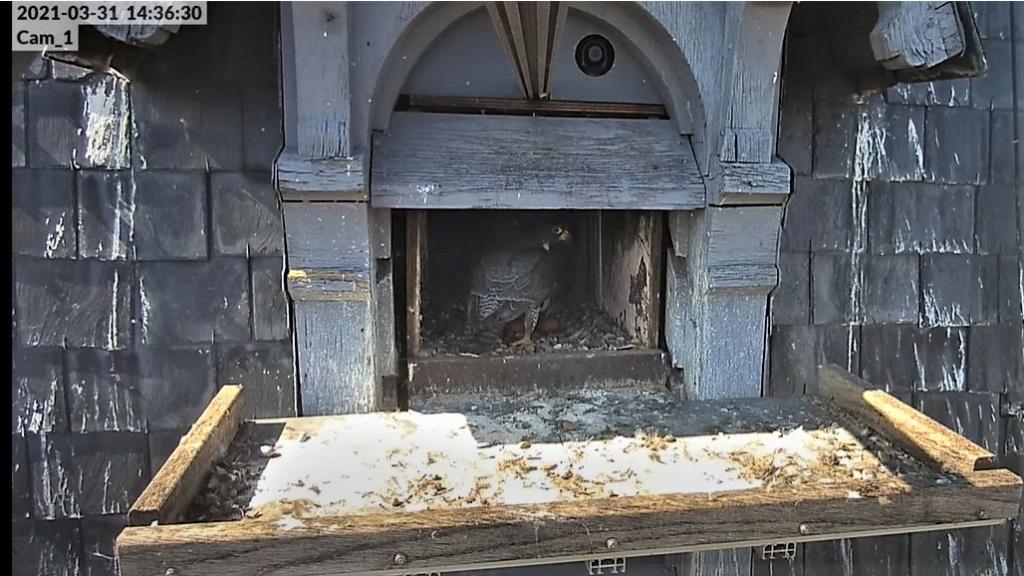 Les faucons pèlerins d'Illkirch-Graffenstaden. Lucky en Valentine. - Pagina 6 Captur96