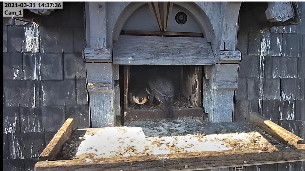 Les faucons pèlerins d'Illkirch-Graffenstaden. Lucky en Valentine. - Pagina 6 Captur97