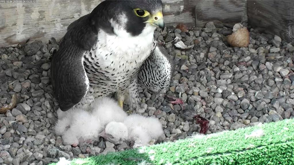 UdeM. Falcons. Eve (ongeringd) ~ Eole (bl E/83 ).New Male 6. april - Pagina 3 Faucon10