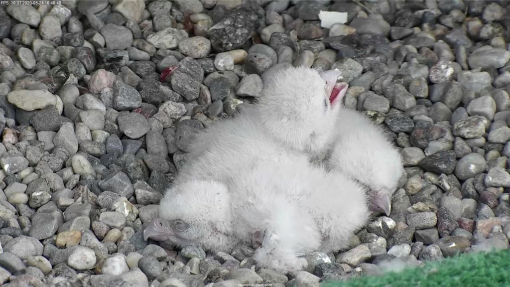 UdeM. Falcons. Eve (ongeringd) ~ Eole (bl E/83 ).New Male 6. april - Pagina 3 Faucon11