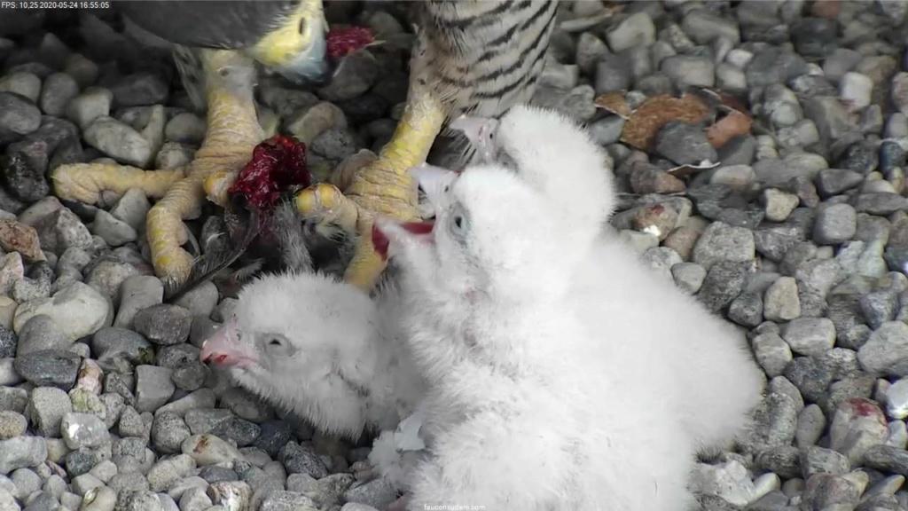UdeM. Falcons. Eve (ongeringd) ~ Eole (bl E/83 ).New Male 6. april - Pagina 3 Faucon13