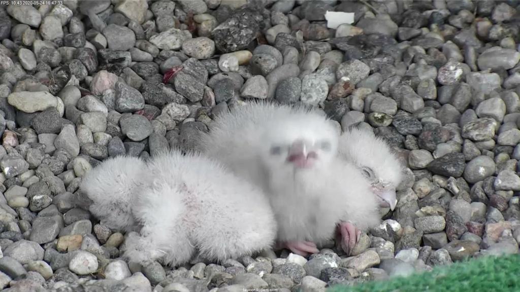 UdeM. Falcons. Eve (ongeringd) ~ Eole (bl E/83 ).New Male 6. april - Pagina 3 Faucon14