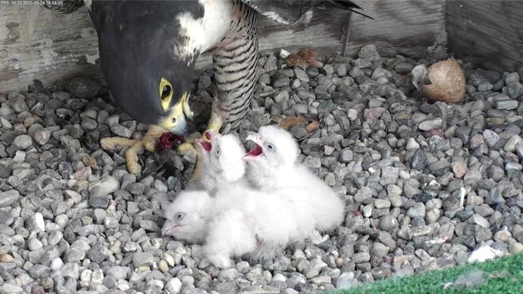 UdeM. Falcons. Eve (ongeringd) ~ Eole (bl E/83 ).New Male 6. april - Pagina 3 Faucon15