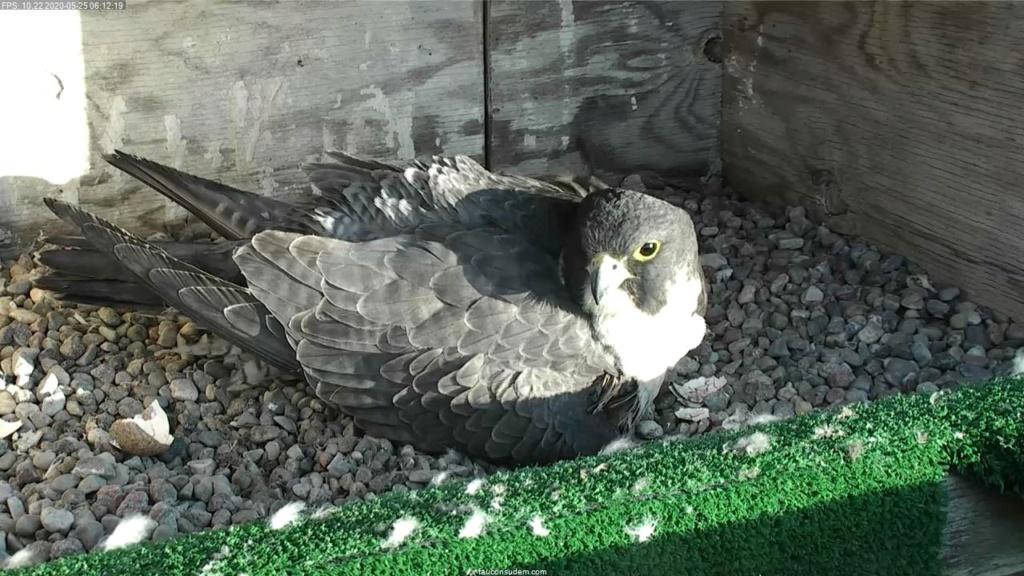UdeM. Falcons. Eve (ongeringd) ~ Eole (bl E/83 ).New Male 6. april - Pagina 3 Faucon18