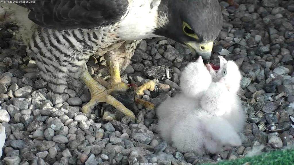 UdeM. Falcons. Eve (ongeringd) ~ Eole (bl E/83 ).New Male Sphinx (ongeringd)  6. april - Pagina 4 Faucon20