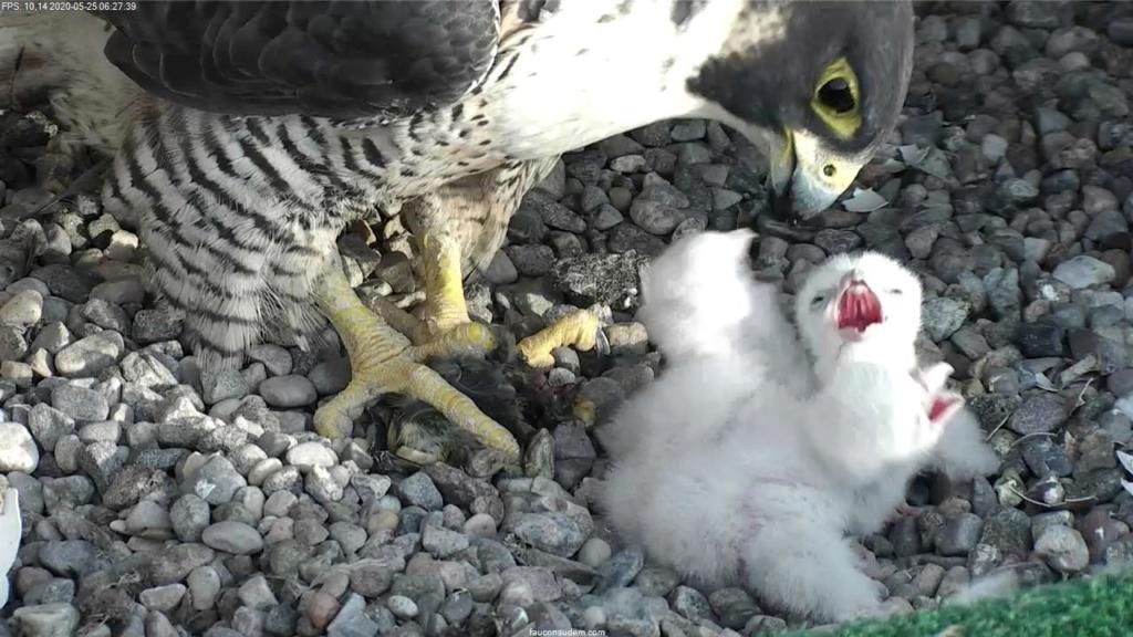 UdeM. Falcons. Eve (ongeringd) ~ Eole (bl E/83 ).New Male Sphinx (ongeringd)  6. april - Pagina 4 Faucon21