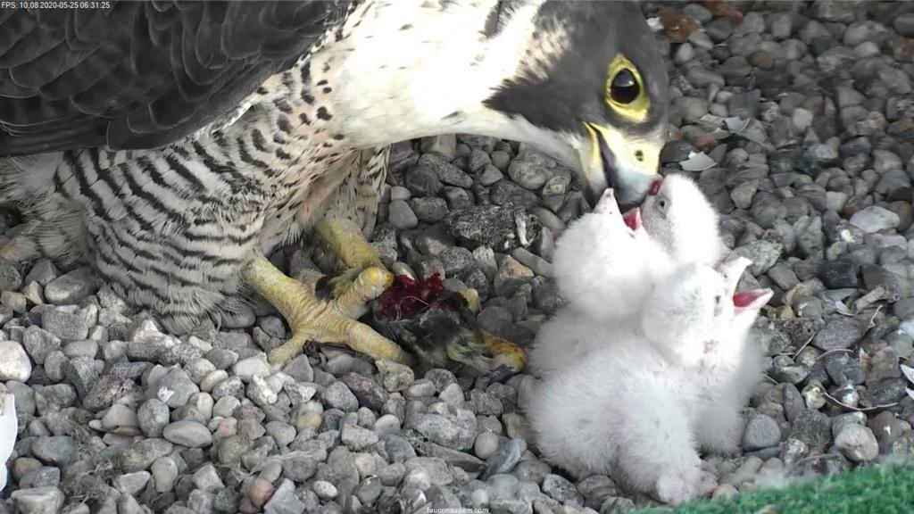 UdeM. Falcons. Eve (ongeringd) ~ Eole (bl E/83 ).New Male Sphinx (ongeringd)  6. april - Pagina 4 Faucon22