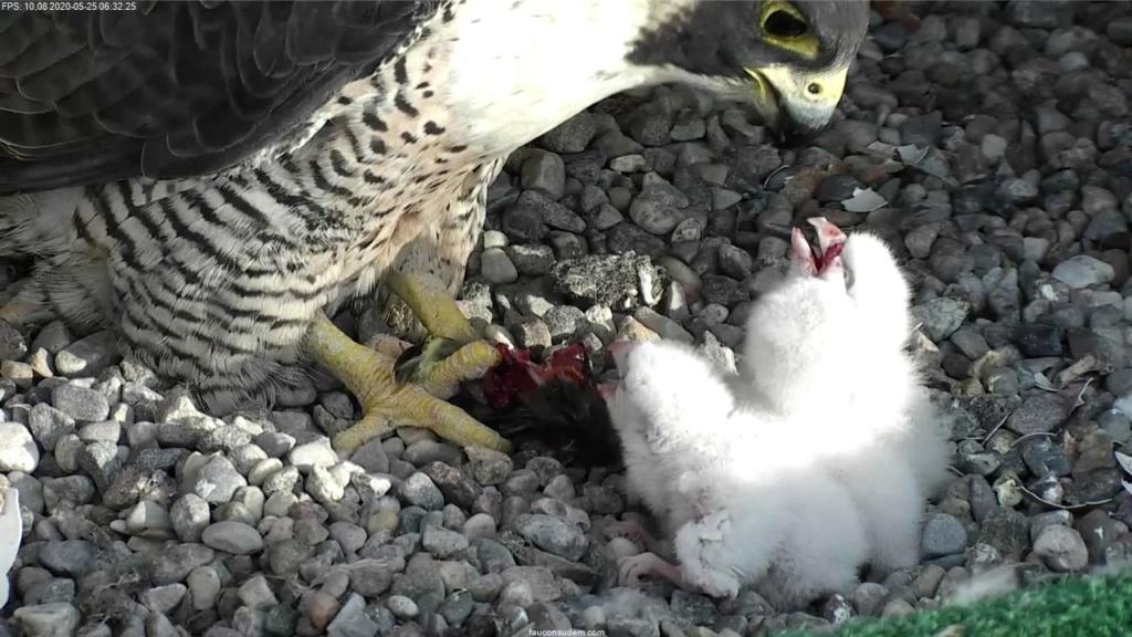 UdeM. Falcons. Eve (ongeringd) ~ Eole (bl E/83 ).New Male Sphinx (ongeringd)  6. april - Pagina 4 Faucon24