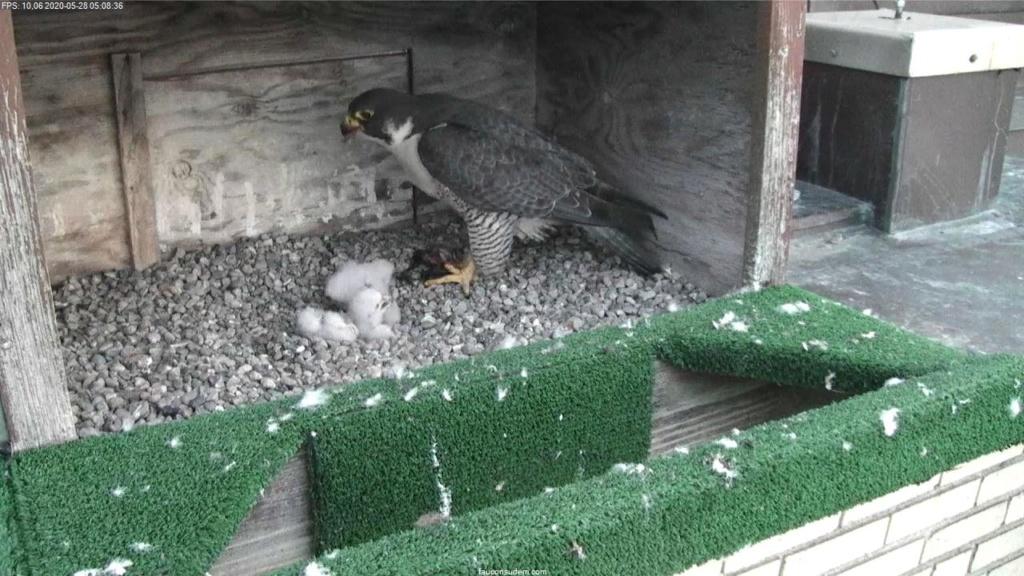 UdeM. Falcons. Eve (ongeringd) ~ Eole (bl E/83 ).New Male Sphinx (ongeringd)  6. april - Pagina 4 Faucon26