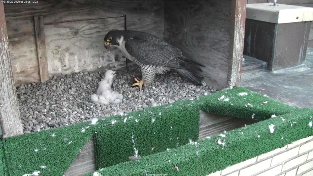 UdeM. Falcons. Eve (ongeringd) ~ Eole (bl E/83 ).New Male Sphinx (ongeringd)  6. april - Pagina 4 Faucon28