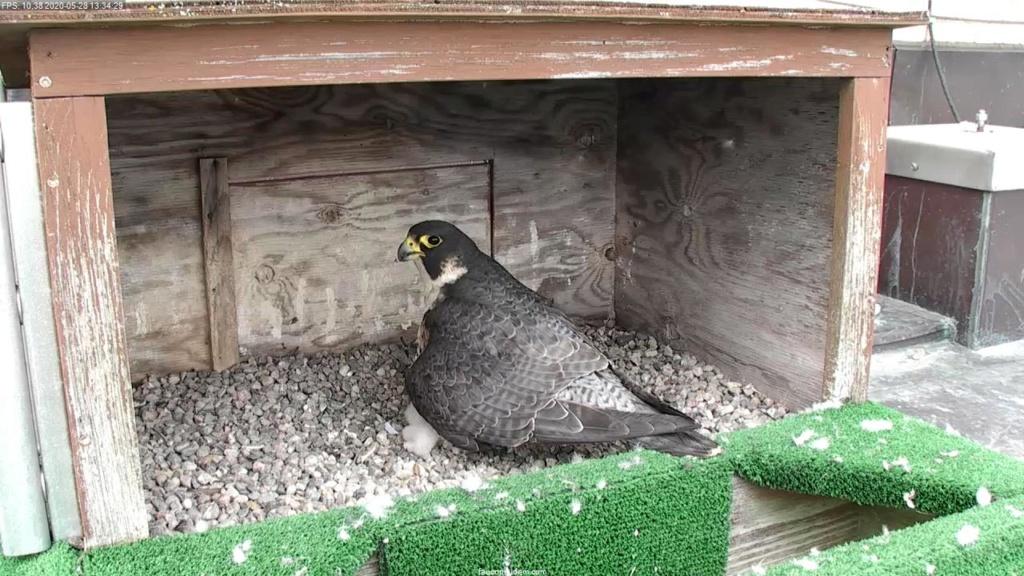 UdeM. Falcons. Eve (ongeringd) ~ Eole (bl E/83 ).New Male Sphinx (ongeringd)  6. april - Pagina 4 Faucon36