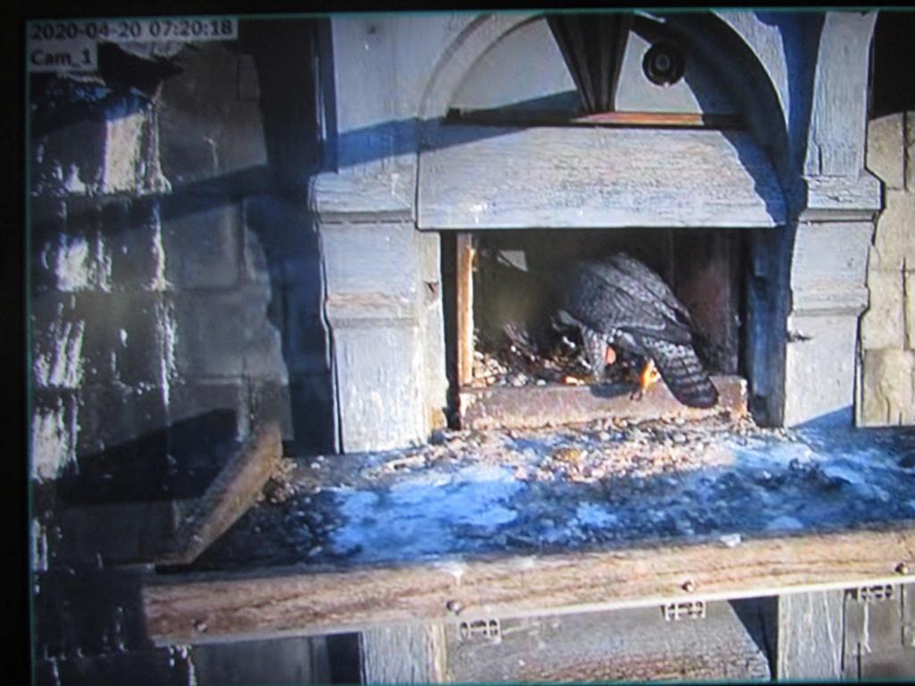 Les faucons pèlerins d'Illkirch-Graffenstaden. Flashblack en Valentine. - Pagina 15 Img_2932