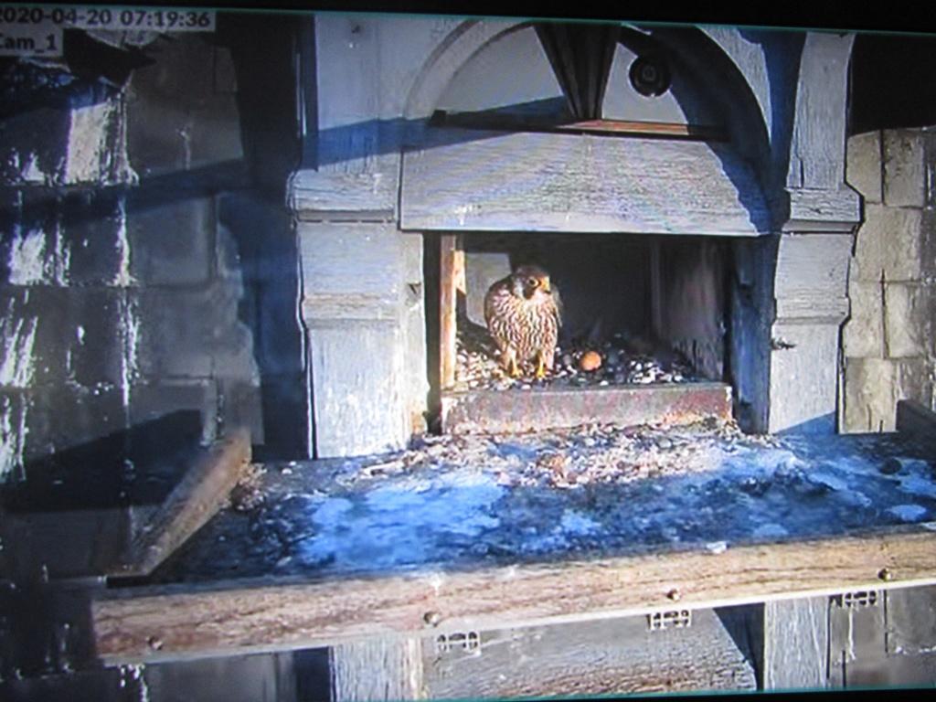 Les faucons pèlerins d'Illkirch-Graffenstaden. Flashblack en Valentine. - Pagina 15 Img_2933