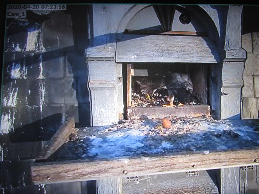 Les faucons pèlerins d'Illkirch-Graffenstaden. Flashblack en Valentine. - Pagina 15 Img_2934