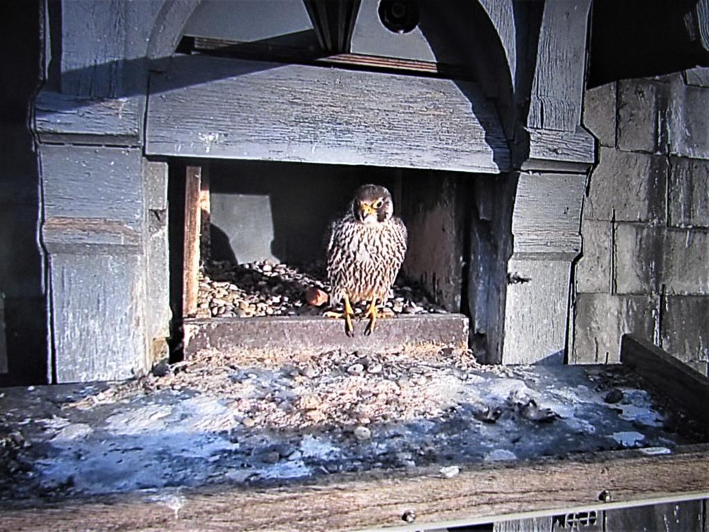 Les faucons pèlerins d'Illkirch-Graffenstaden. Flashblack en Valentine. - Pagina 15 Img_2938