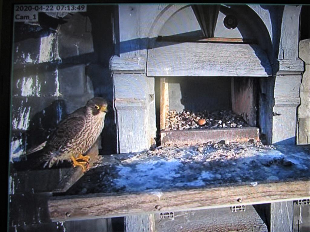 Les faucons pèlerins d'Illkirch-Graffenstaden. Flashblack en Valentine. - Pagina 15 Img_3019