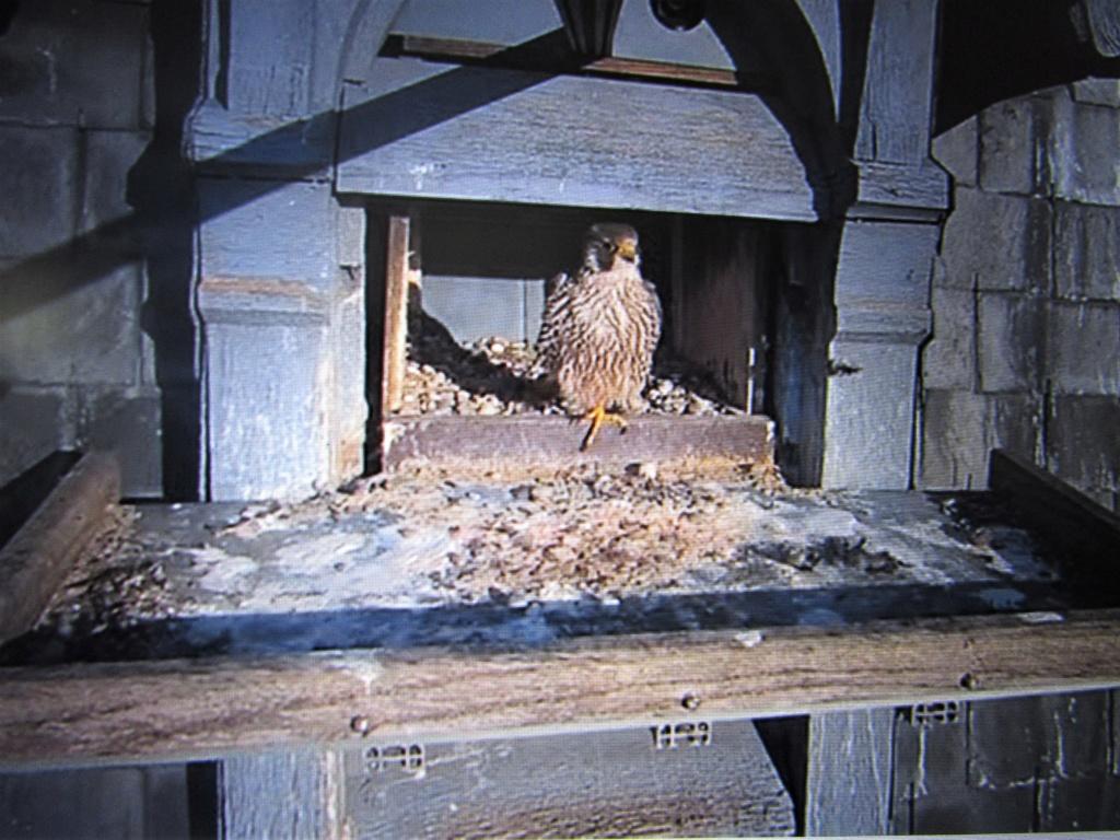 Les faucons pèlerins d'Illkirch-Graffenstaden. Flashblack en Valentine. - Pagina 15 Img_3020