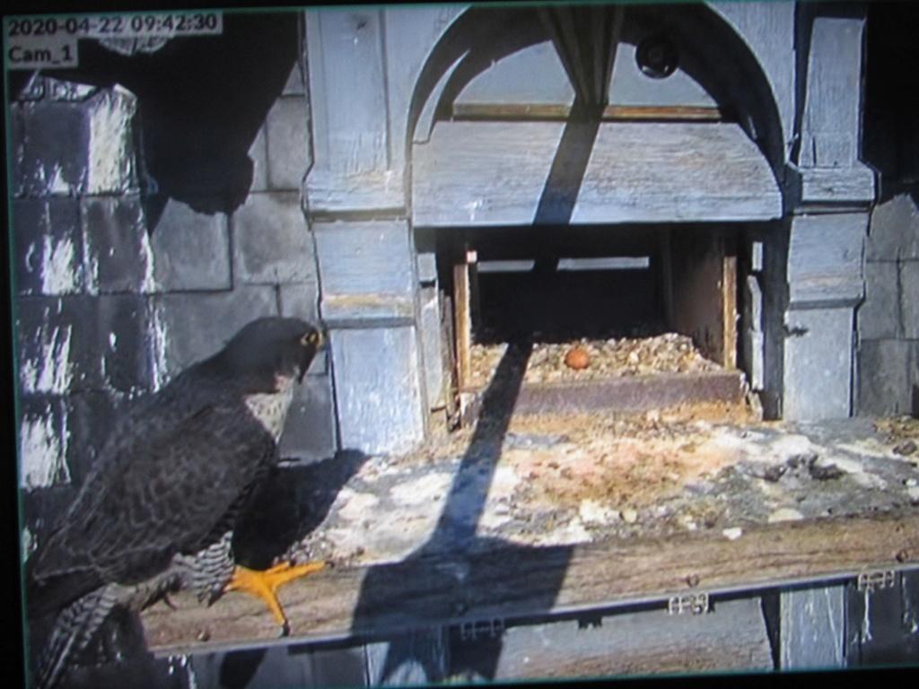 Les faucons pèlerins d'Illkirch-Graffenstaden. Flashblack en Valentine. - Pagina 15 Img_3022