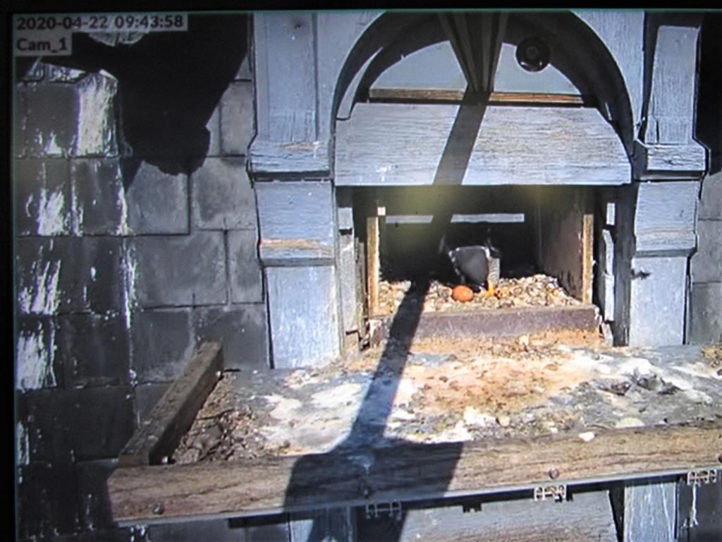 Les faucons pèlerins d'Illkirch-Graffenstaden. Flashblack en Valentine. - Pagina 15 Img_3023