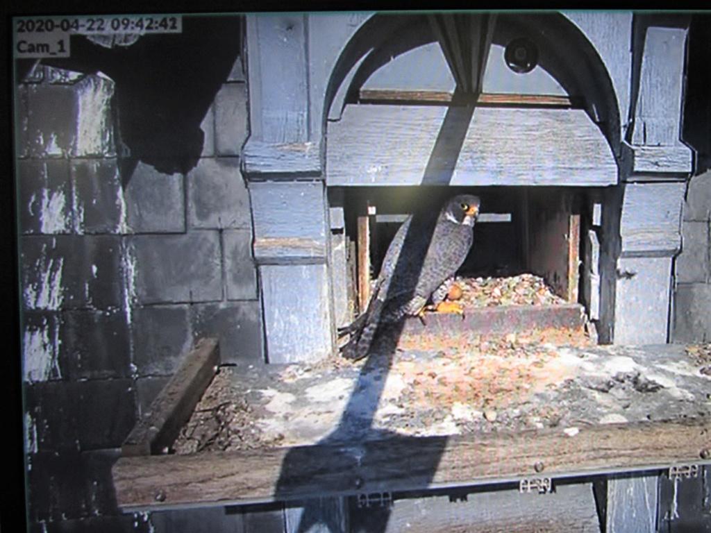 Les faucons pèlerins d'Illkirch-Graffenstaden. Flashblack en Valentine. - Pagina 15 Img_3024