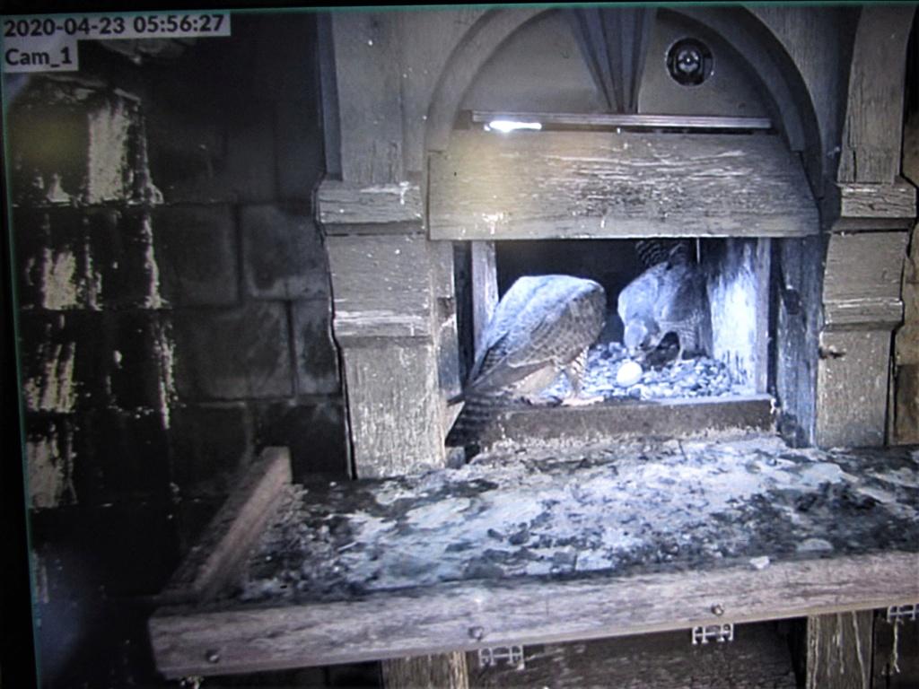 Les faucons pèlerins d'Illkirch-Graffenstaden. Flashblack en Valentine. - Pagina 15 Img_3110