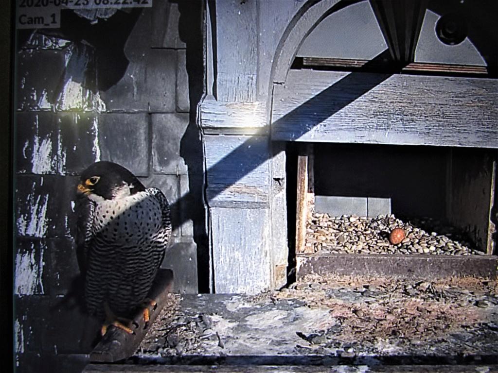 Les faucons pèlerins d'Illkirch-Graffenstaden. Flashblack en Valentine. - Pagina 15 Img_3120