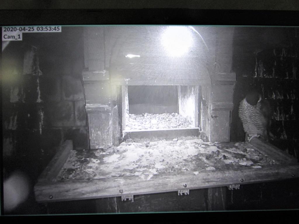 Les faucons pèlerins d'Illkirch-Graffenstaden. Flashblack en Valentine. - Pagina 16 Img_3211
