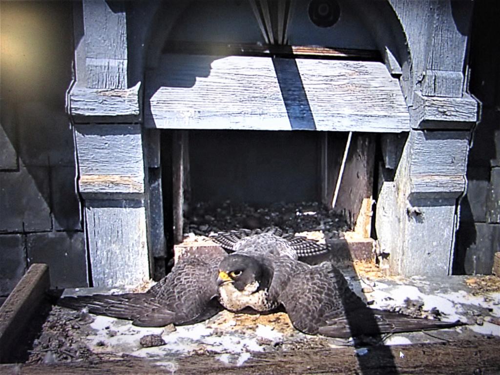 Les faucons pèlerins d'Illkirch-Graffenstaden. Flashblack en Valentine. - Pagina 16 Img_3212