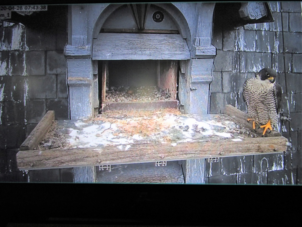 Les faucons pèlerins d'Illkirch-Graffenstaden. Flashblack en Valentine. - Pagina 16 Img_3220