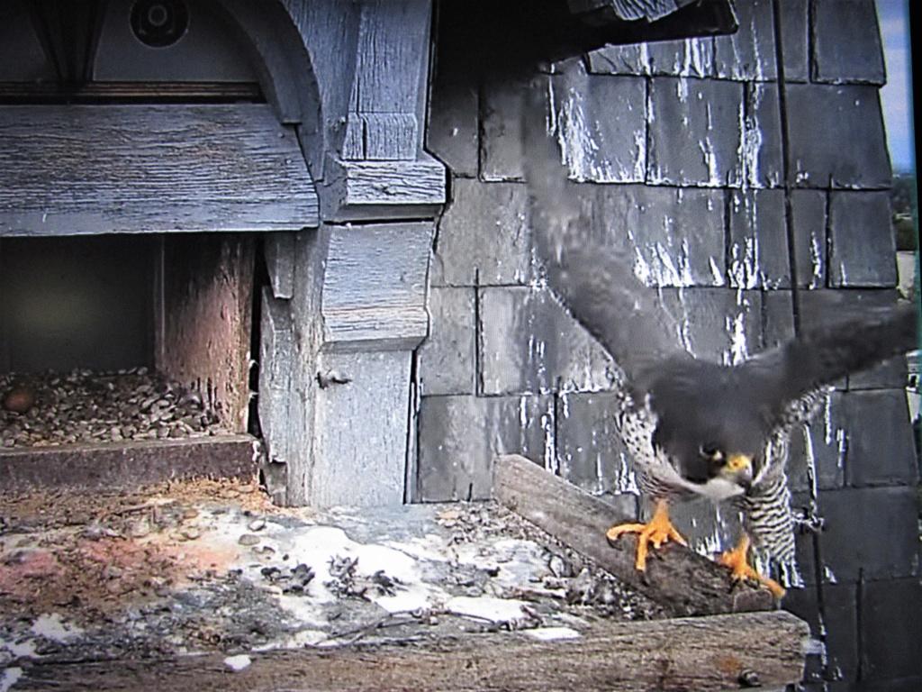 Les faucons pèlerins d'Illkirch-Graffenstaden. Flashblack en Valentine. - Pagina 16 Img_3222