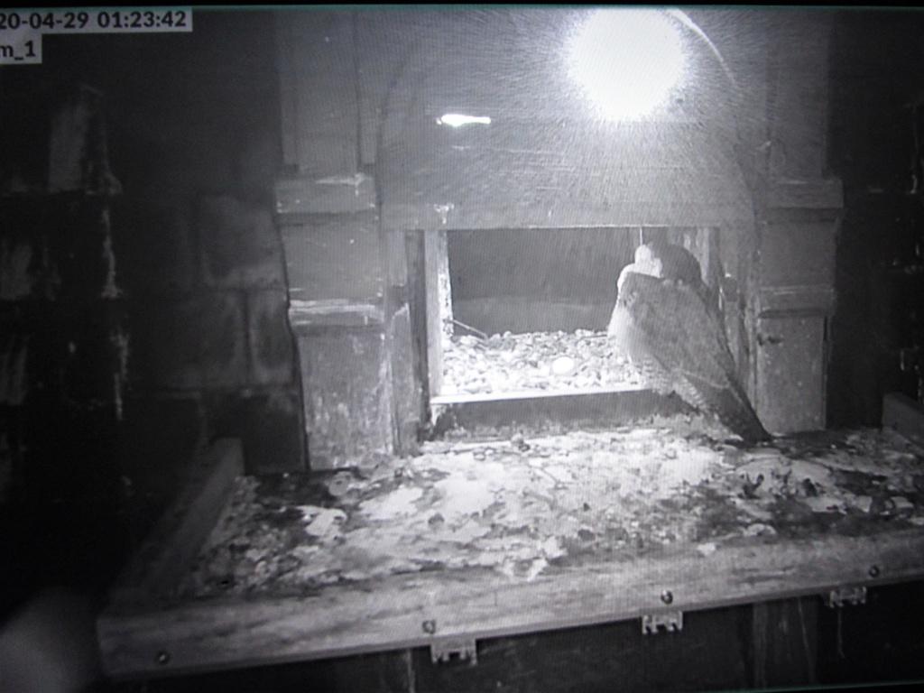 Les faucons pèlerins d'Illkirch-Graffenstaden. Flashblack en Valentine. - Pagina 16 Img_3310