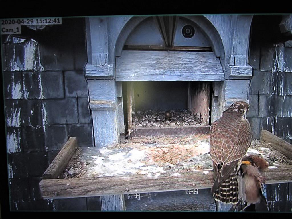 Les faucons pèlerins d'Illkirch-Graffenstaden. Flashblack en Valentine. - Pagina 16 Img_3411