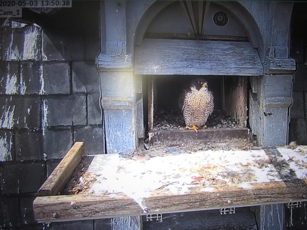 Les faucons pèlerins d'Illkirch-Graffenstaden. Flashblack en Valentine. - Pagina 16 Img_3517