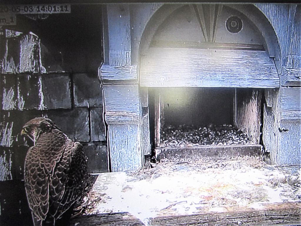 Les faucons pèlerins d'Illkirch-Graffenstaden. Flashblack en Valentine. - Pagina 17 Img_3518