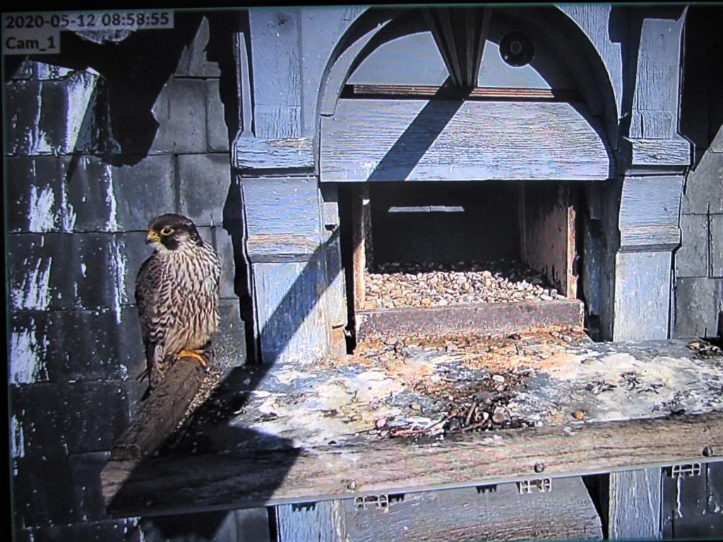 Les faucons pèlerins d'Illkirch-Graffenstaden. Flashblack en Valentine. - Pagina 17 Img_3710