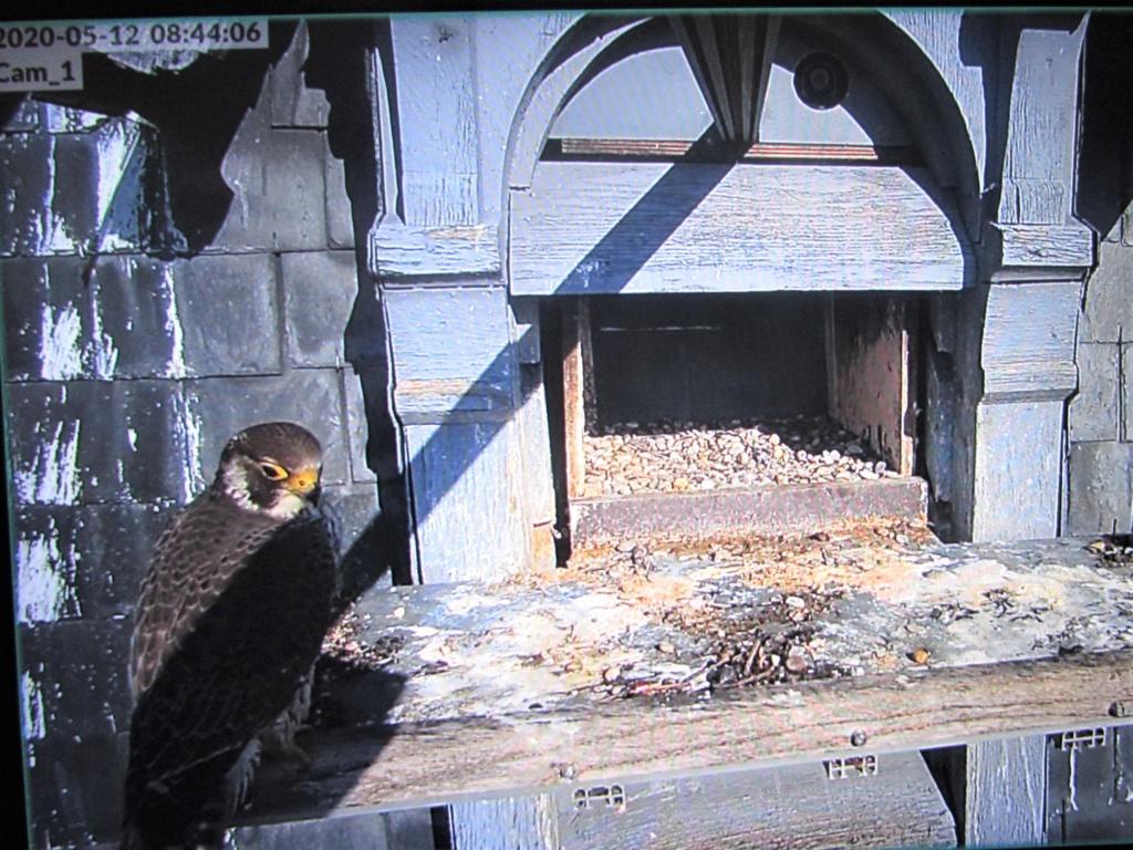 Les faucons pèlerins d'Illkirch-Graffenstaden. Flashblack en Valentine. - Pagina 17 Img_3711