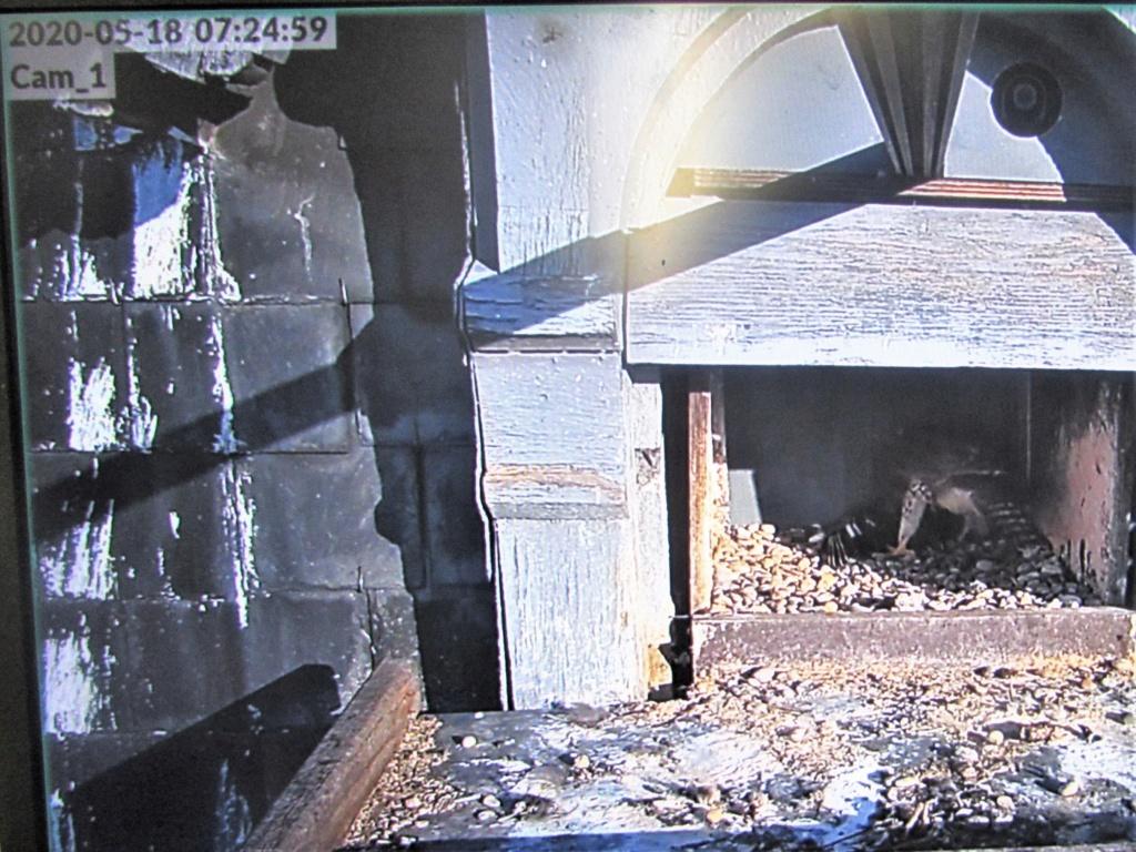 Les faucons pèlerins d'Illkirch-Graffenstaden. Flashblack en Valentine. - Pagina 17 Img_3813