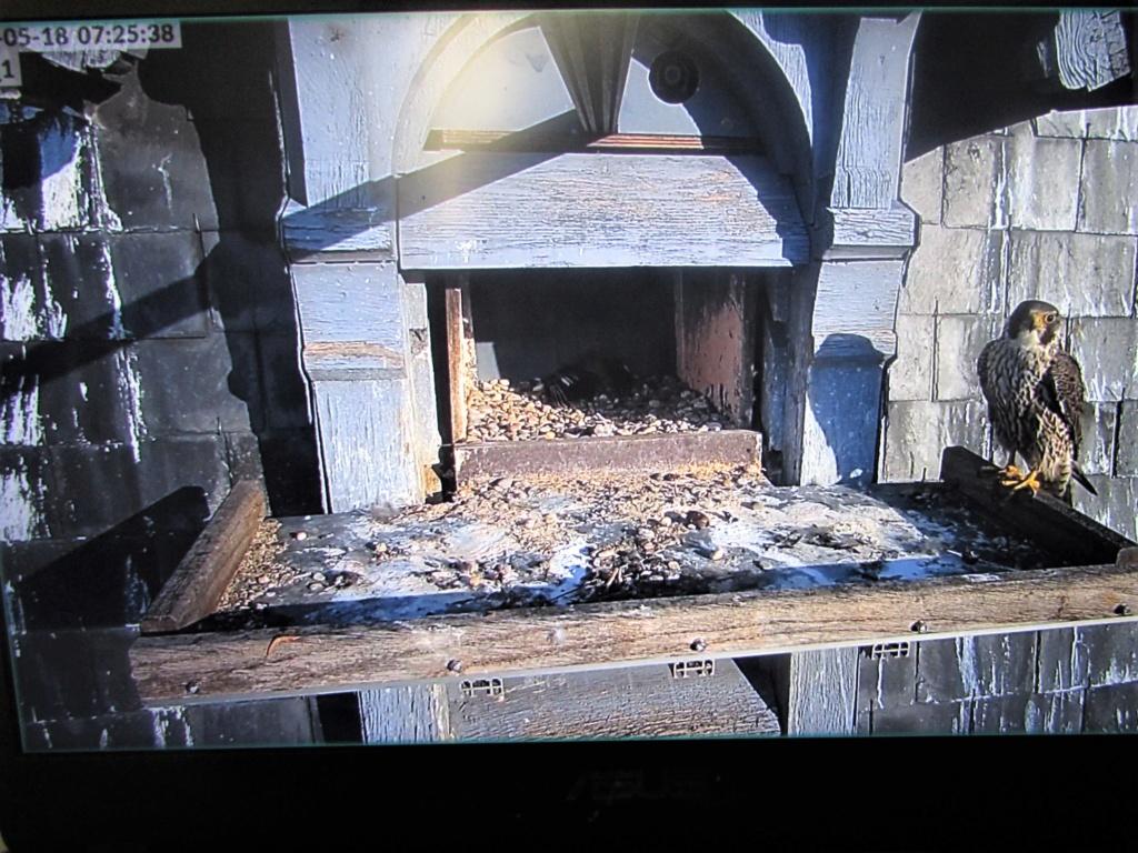 Les faucons pèlerins d'Illkirch-Graffenstaden. Flashblack en Valentine. - Pagina 17 Img_3816