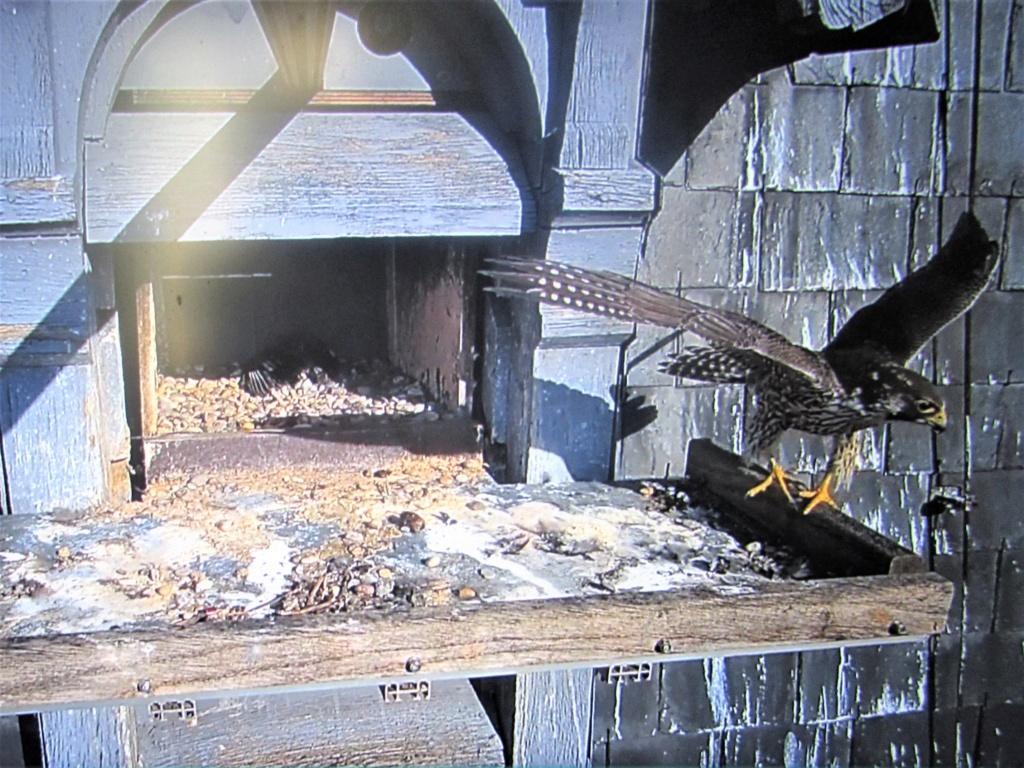 Les faucons pèlerins d'Illkirch-Graffenstaden. Flashblack en Valentine. - Pagina 17 Img_3817
